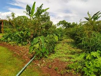 Imagem mostra uma pequena parte da área demonstrativa de sistemas agroflorestais na Vitrine Tecnológica de Agroecologia. A foto mostra parte do espaço onde são cultivadas bananas, pêssegos, inhame, mandioca, entre outras.