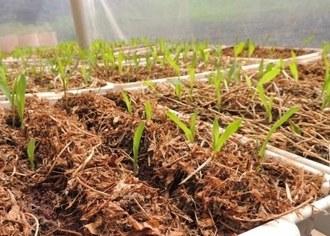 Na imagem alguns plantas de milho em fase de desenvolvimento inicial, em bandejas na casa de vegetação