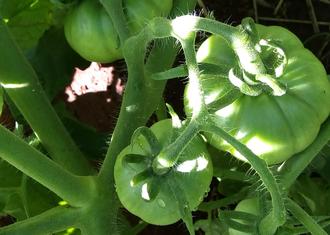 Na foto um tomateiro, com três frutos.